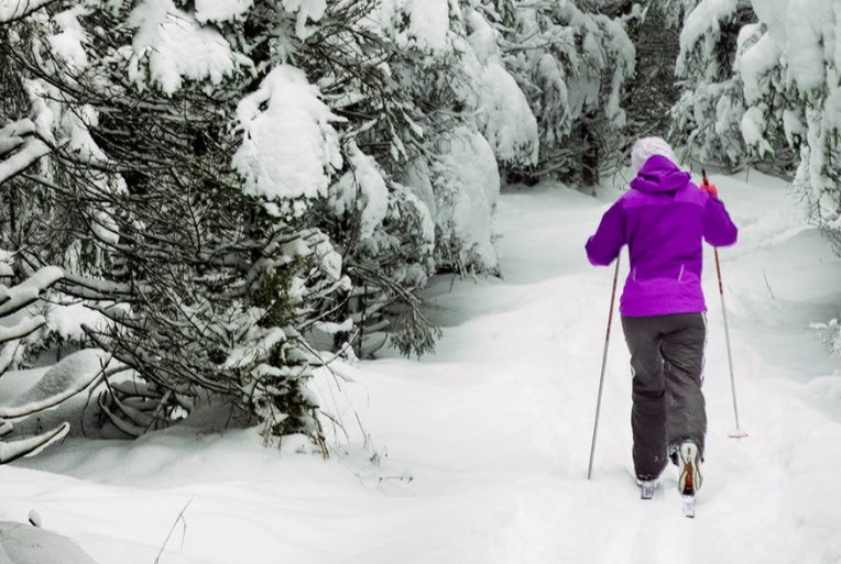 Cross country skier wearing purple top moves away into Pine tree forest